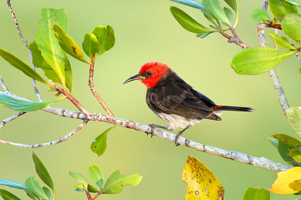 Red-headed Myzomela – Myzomela erythrocephala (m) (Darwin, Northern Territory)