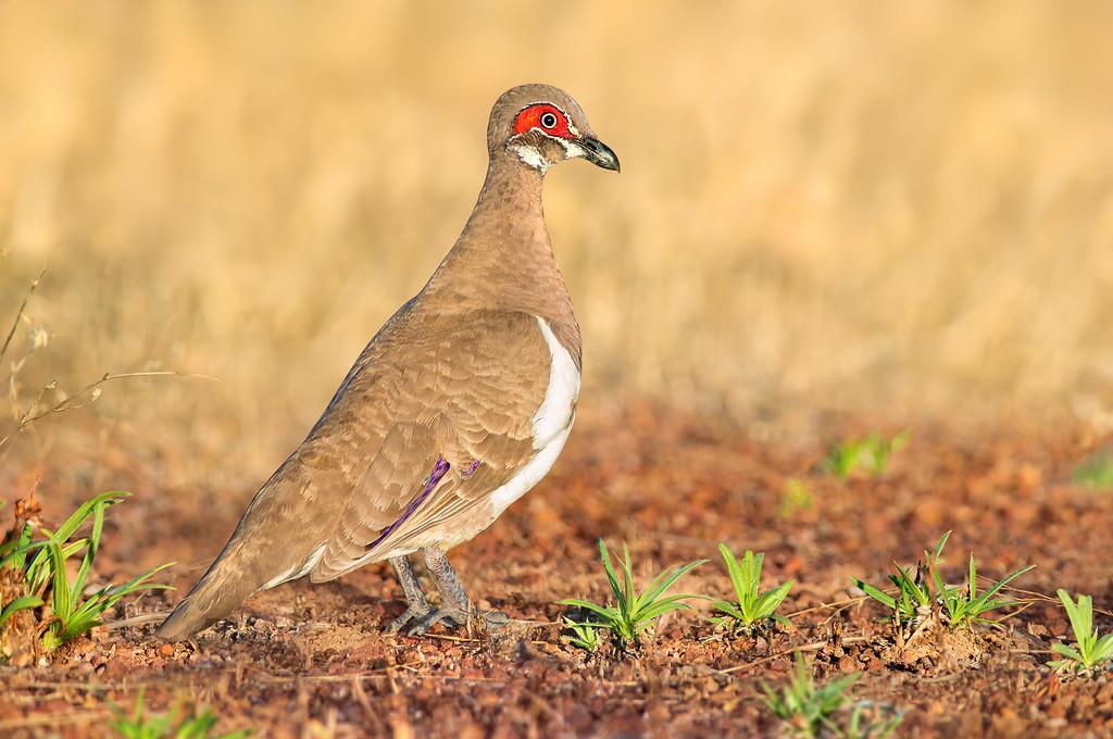 Partridge Pigeon – Geophaps smithii (Kakadu NP, Northern Territory)