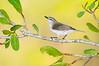 Mangrove Gerygone – Gerygone levigaster (Darwin, Northern Territory)