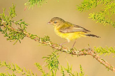 Weebill – Smicornis brevirostris (race flavescens) – (Kakadu NP, Northern Territory)