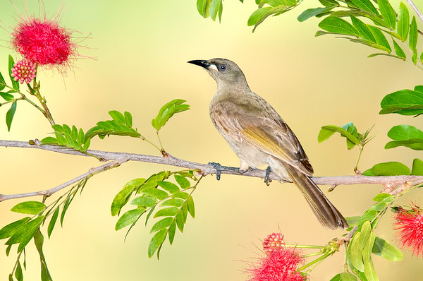 White-gaped Honeyeater – Stomiopera unicolor (Kakadu NP, Northern Territory)