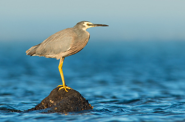 White-faced Heron - Egretta novaehollandiae (Western Treatment Plant, Vic)