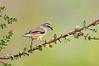 Striated Pardalote - Pardalotus striatus (ssp substriatus) (Melbourne, Victoria)