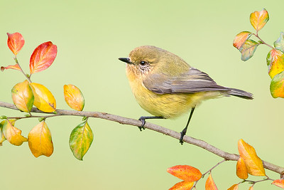 Yellow Thornbill – Acanthiza nana (Barham, NSW)