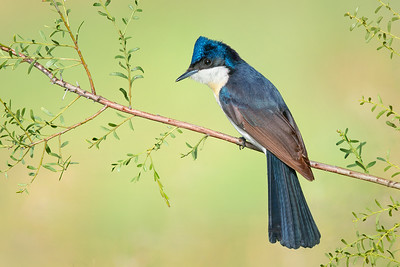 Restless Flycatcher – Myiagra inquieta (Barham, NSW)
