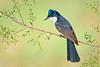 Restless Flycatcher – Myiagra inquieta (Barham, NSW)