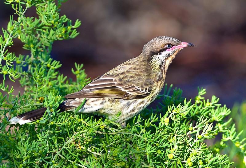 Spiny-cheeked Honeyeater - Acanthagenys rufogularis (Port Augusta, SA)