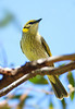 Grey-fronted Honeyeater - Lichenostomus plumulus graingeri (Telowie Gorge, SA)