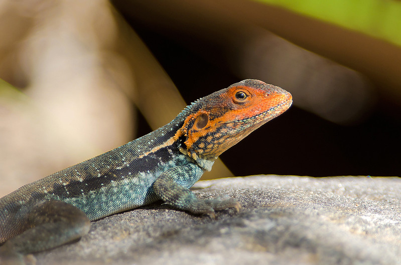 Tawny Dragon - Ctenophorus decresii (m) (Telowie Gorge, SA)