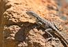 Tawny Dragon - Ctenophorus decresii (f) (Telowie Gorge, SA)