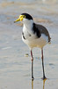 Masked Lapwing - Vanellus miles (Port Gawler, SA)