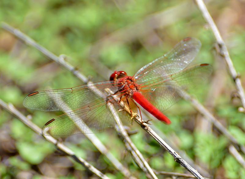 Wandering Percher - Diplacodes bipunctata (Brachina Gorge, Flinders Ranges, SA)