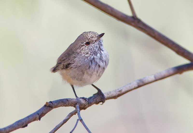 Inland Thornbill - Acanthiza apicalis (Mt Remarkable NP, SA)