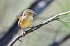 Chestnut-rumped Heathwren - Calamanthus pyrrhopygius pedleri (Mt Remarkable NP, SA)