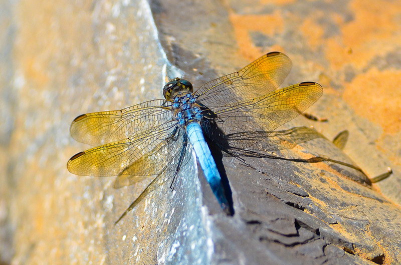 Blue Skimmer - Orthetrum caledonicum (Brachina Gorge, Flinders Ranges, SA)