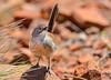 Short-tailed Grasswren - Amytornis merrotsyi (Flinders Ranges, SA)