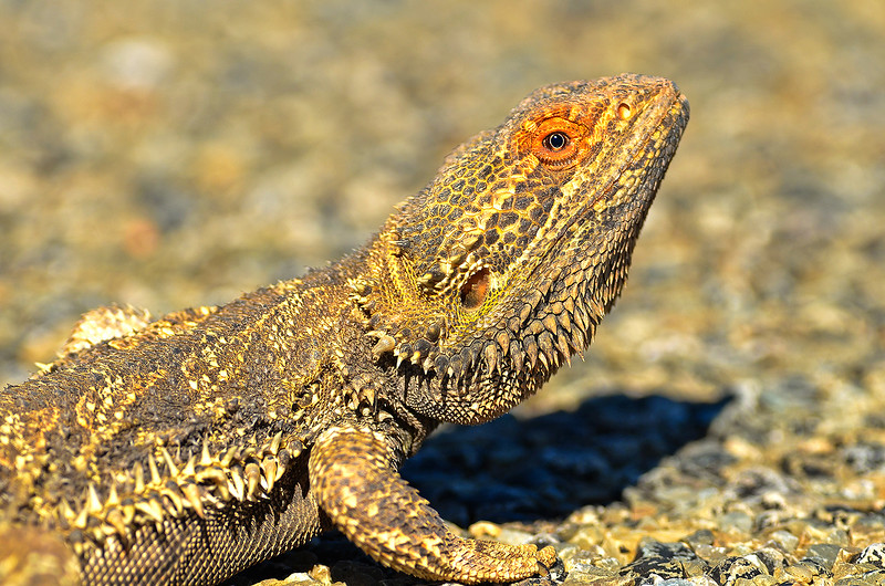 Central Bearded Dragon - Pogona vitticeps (Strzelecki Track, SA)