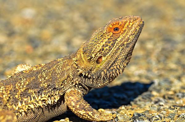 Central Bearded Dragon - Pogona vitticeps (Strzelecki Track, SA)