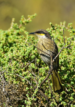 Singing Honeyeater - Lichenostomus virescens (Whyalla CP, SA)