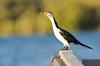 Little Pied Cormorant - Microcarba melanoleucos (Port Pirie, SA)