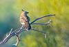 Chirruping Wedgebill - Psophodes cristatus (Port Augusta, SA)