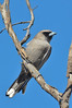 Black-faced Woodswallow - Artamus cinereus (Strzelecki Track, SA)