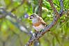 Chestnut-breasted Whiteface - Aphelocephala pectoralis (Strzelecki Track, SA)