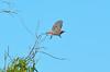 Crimson Chat - Epthianura tricolor (Strzelecki Track, SA)