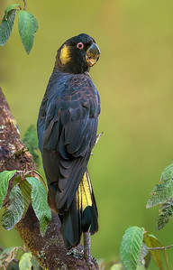 Yellow-tailed Black Cockatoo (m) - Calyptorhynchus funereus (Tarago SF, Vic)