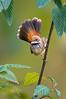 Rufous Fantail - Rhipidura rufifrons (Tarago SF, Vic)