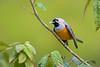 Black-faced Monarch - Monarcha melanopsis (Tarago SF, Vic)