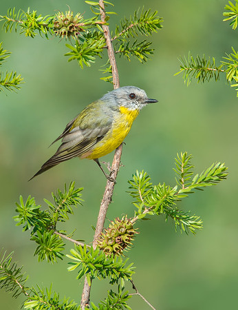 Eastern Yellow Robin - Eopsaltria australis (Warby Ranges, Vic)