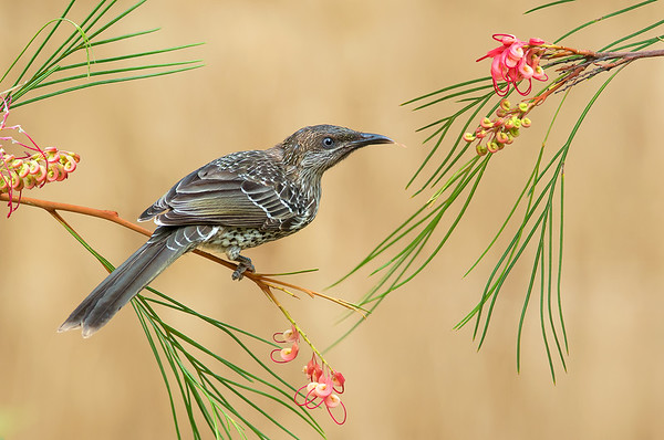 Little Wattlebird - Anthochaera chrysoptera (juvenile) (Flinders, Vic)