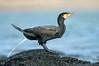Great Cormorant - Phalacrocorax carbo (Flinders, Vic)