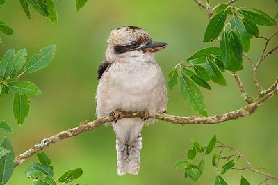 Laughing Kookaburra - Dacelo novaeguineae (Sherbrooke, Vic)