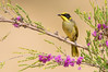 Yellow-tufted Honeyeater - Lichenostomus melanops (Warby Ranges, Victoria)