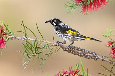 New Holland Honeyeater - Phylidonyris novaehollandiae (Warby Ranges, Victoria)