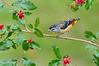 Spotted Pardalote - Pardalotus punctatus (Melbourne, Victoria)