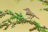 Striated Thornbill - Acanthiza lineata (Bells Beach, Victoria)