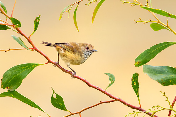 Brown Thornbill - Acanthiza pusilla (Bells Beach, Victoria)
