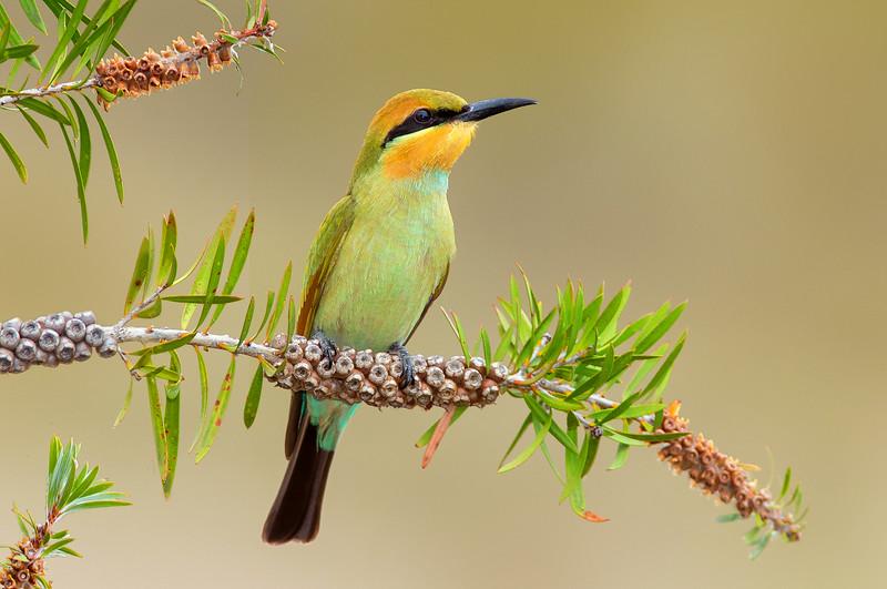 Rainbow Bee-eater - Merops ornatus (Benalla, Victoria)