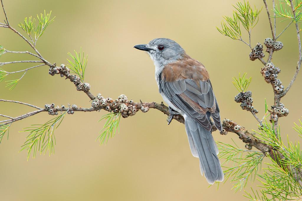 Grey Shrikethrush - Colluricincla megarhyncha (Benalla, Victoria)