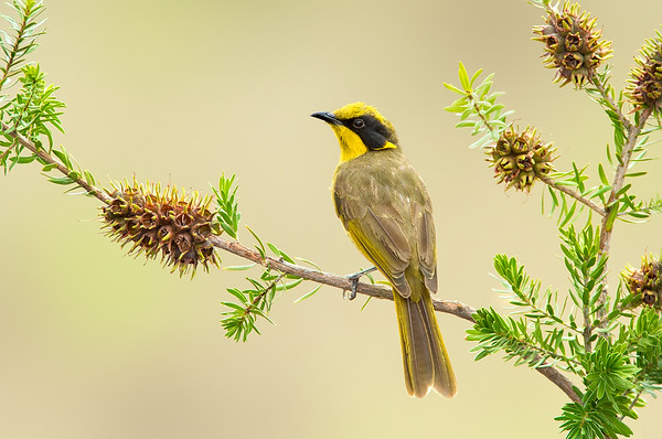 Yellow-tufted Honeyeater - Lichenostomus melanops (Benalla, Victoria)