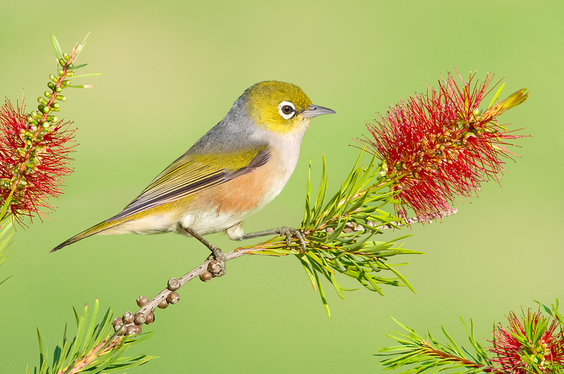 Silvereye - Zosterops lateralis (Barham, NSW)