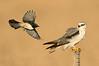 Willie Wagtail - Rhipidura leucophrys & Black-shouldered Kite - Elanus axillaris (Western Treatment Plant, Vic)