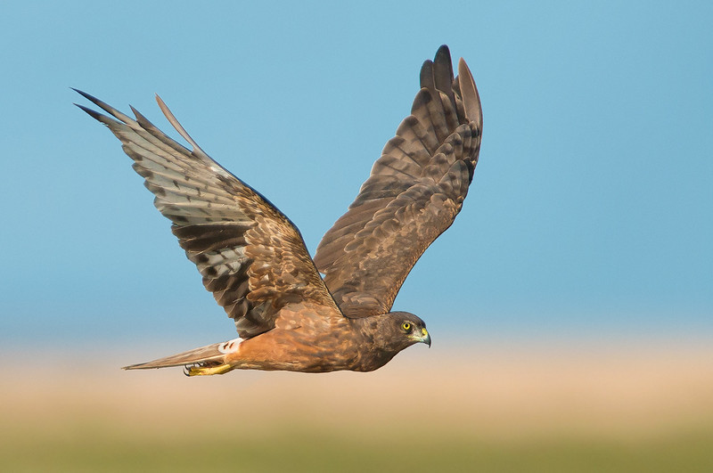 Swamp Harrier - Circus approximans (Western Treatment Plant, Vic)