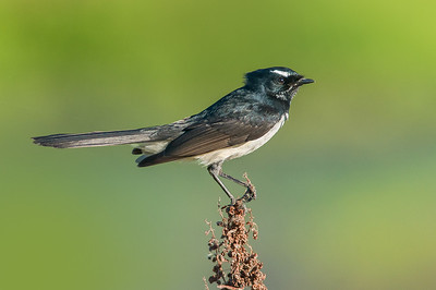 Willie Wagtail - Rhipidura leucophrys (Western Treatment Plant, Vic)