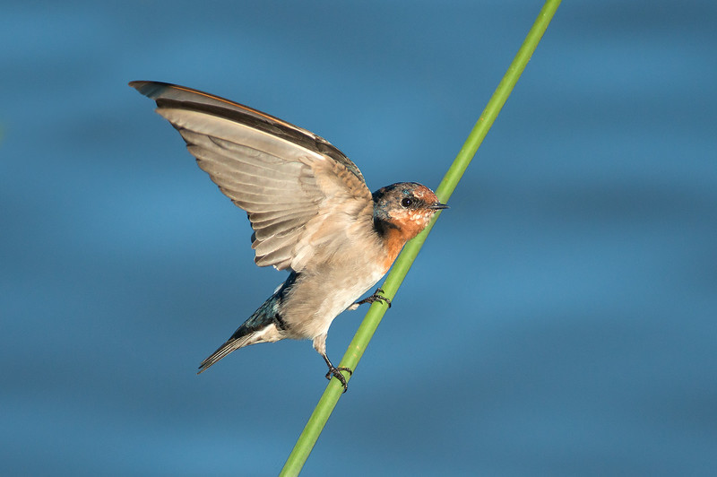 Welcome Swallow - Hirundo neoxena (Western Treatment Plant, Vic)