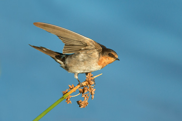 Welcome Swallow - Hirundo neoxena (Western Treatment Plant, Vic)