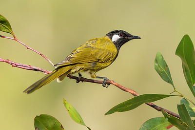 White-eared Honeyeater - Lichenostomus leucotis (Bells Beach, Vic)